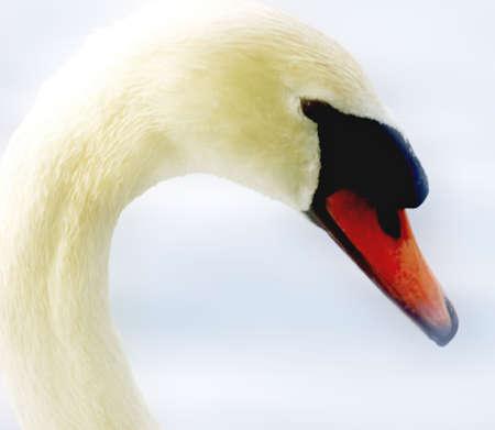 Beautiful swan close-up photo