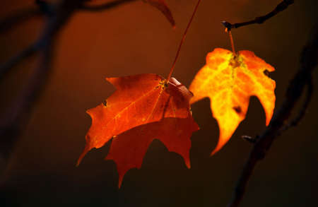 Red and yellow maple leaves on brown background photo