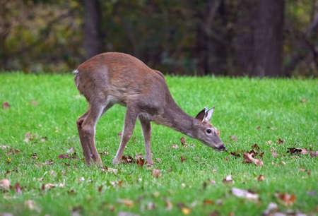 Mule Deer. Shenandoah National Park. Virginia, USA