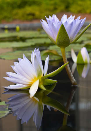 Water-lilies photo