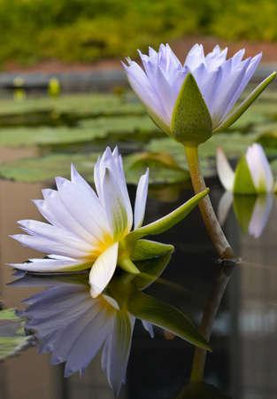 waterlilies: Water-lilies Stock Photo