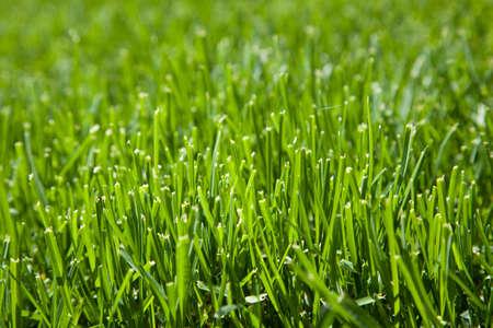 cut grass: Closeup of cut grass