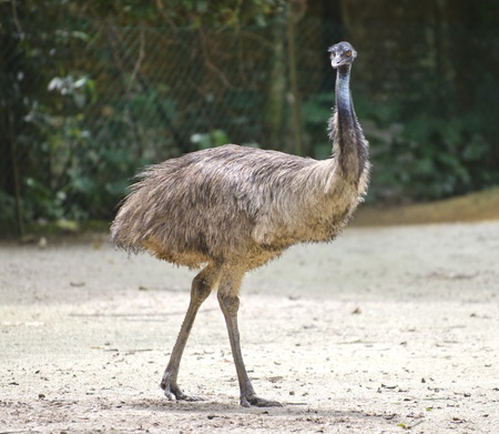 Ostrich in action to run Stock Photo - 10995543