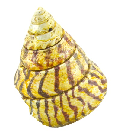 cone shell: shell like cone Stock Photo