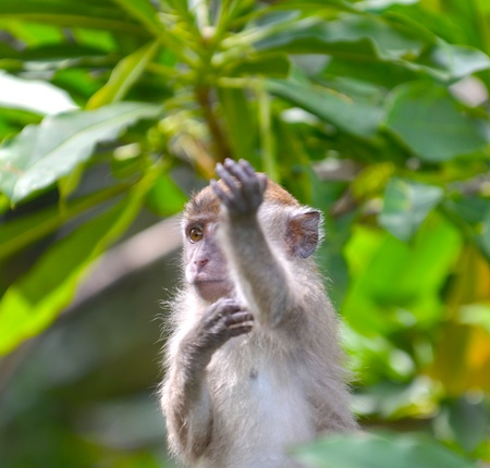 Monkey giving a command in action  photo