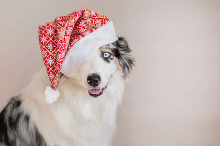 Australian shepherd in christmas hat closeup portrait Stock Photo