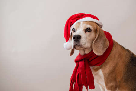 Beagle dog in santa hat and red scarf portrait.