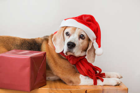 Beagle dog in santa hat and red scarf portrait with Christmas gift