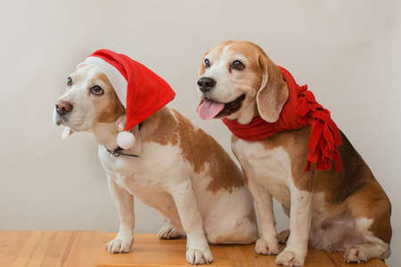 Two beagle dogs in santa hat and red scarf