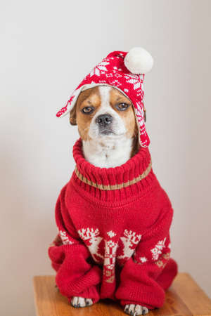 Chihuahua Portrait in santa hat and Christmas jacket