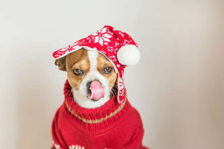 Chihuahua Portrait in santa hat and Christmas jacket licking its nose