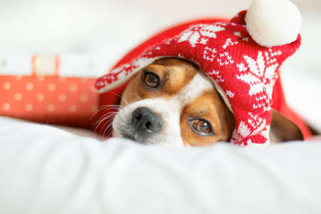Chihuahua Portrait in santa hat and red scarf with gift lying on bed. Stock Photo