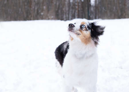 australian shepherd merle with different eyes in winter. Dog in snow.look up