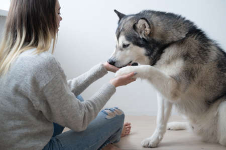 Caucasian woman training alaskan Malamute dog. Give paw.