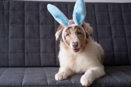 Australian shepherd red merle puppy dog wearing bunny ears. easter