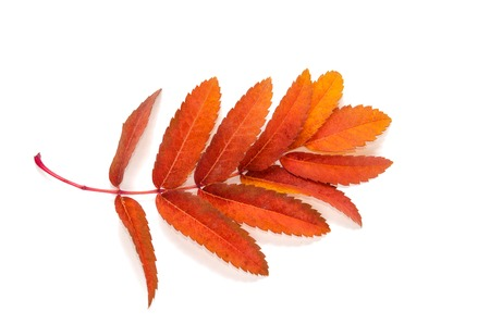 serrate: orange leaves mountain ash with stains isolated on a white in the photo Stock Photo