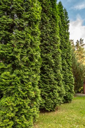 Garden. green cypress trees. Three cypresses. summer
