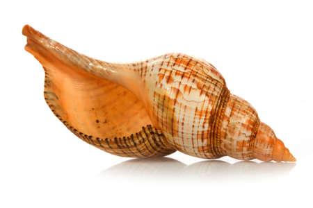conchas: conchas aislados sobre fondo blanco
