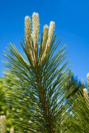 Decorative pine on the blue sky background Stock Photo - 7085478