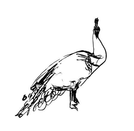 Vector illustration, isolated male peacock in black and white colors, outline original hand painted drawing