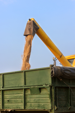 unloading: Unloading a bumper crop of wheat after harvest Stock Photo