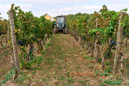 Tractor on the vineyard with harvesting, autumn weather Stock Photo