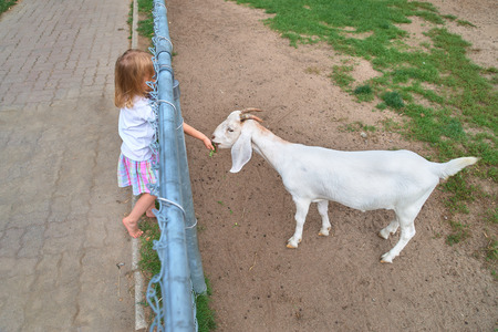Little girl feeds young white goat at goat farm. Cute little kid feeding a goat at farm.