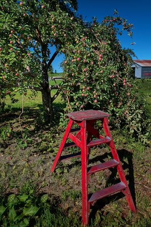 Apple tree with fruits on branches and ladder for harvesting. Stock Photo