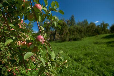 Apple garden nature background sunny autumn day. Stock Photo