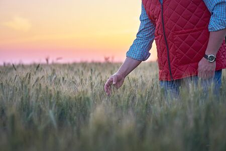 Male hand moving over wheat growing on the field. Field of ripe grain and mans hand touching wheat in summer field. Man walking through wheat field, touching wheat spikes at sunset.