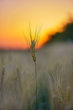 wheat stalk on the background of the dawn . rays of the sun passing through the wheat.