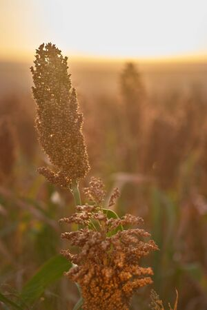 Sunrise sorghum is efficient in converting solar energy to chemical energy, and also uses less water compared to other grain crops. Moldova farm growing hybrid genetically modified biofuel. Close up.