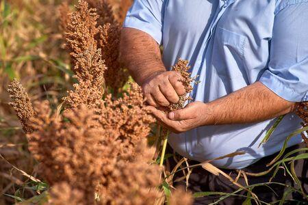 Farmer examining ripe proso millet Panicum miliaceum , close up of hand. Moldova farm growing hybrid genetically modified biofuel. Stockfoto