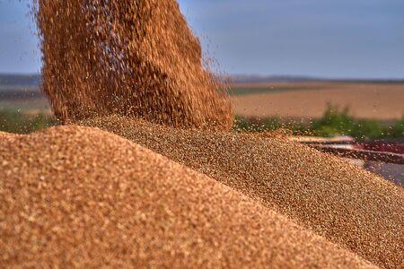 Vue rapprochée de la moissonneuse-batteuse versant un semi-remorque avec du sorgho pendant la récolte. Saison de récolte du sorgho en été. Ciel bleu ensoleillé et espace de copie. Banque d'images