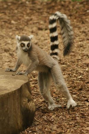 julian: Lemur Stock Photo