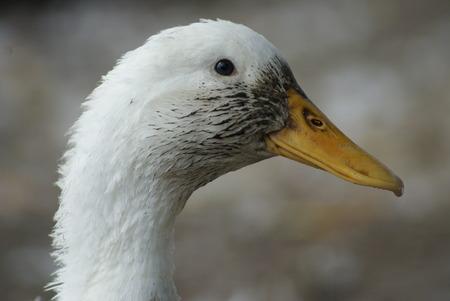 Duck Фото со стока