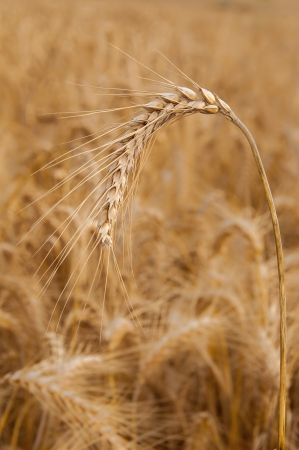 Close-up photo of a wheat head on a background of blurred wheat photo