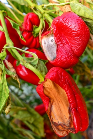 Ripe peppers left to rot in a greenhouse on a sabbatical year