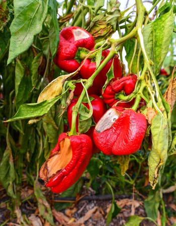 sabbatical: Ripe red peppers left to rot in a greenhouse