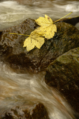 brook: Two leaves on a stone in brook