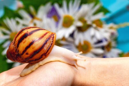 Snail Archachatina marginata var. ovum. Yellow shell with brown stripes. Snail crawls on a hand against the background of chamomile flowers. Beautiful background with copy space. Imagens
