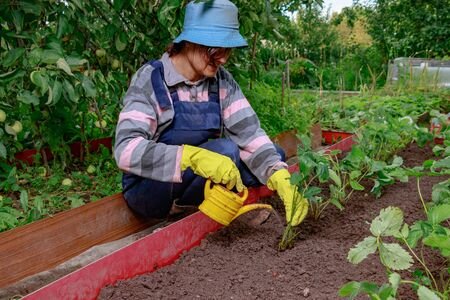 The gardener is planting strawberries in the soil. A woman is pouring seedlings from a watering can. Farmer puts strawberry mustache on the garden bed.