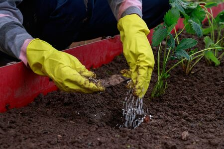 Application of mineral fertilizers before planting strawberry seedlings. The gardener adds white granules of chemical fertilizers to the soil. Stockfoto