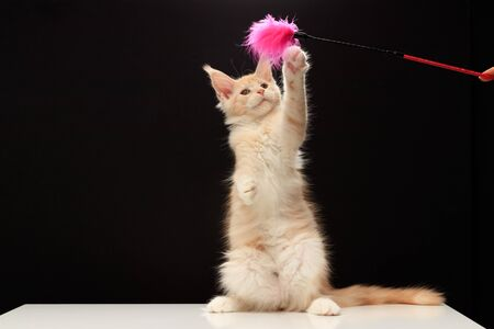 Kitten plays a teaser toy. Imagens