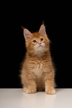 Maine Coon kitten on a white table Imagens