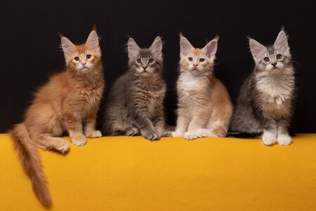 Many beautiful Maine Coon kittens. Imagens