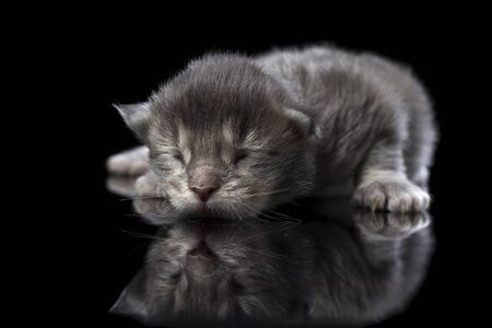 Blind gray kitten on black glass and isolated black background. Reflection of a newborn Maine Coon in the mirror. Cat color blue ticked tabby