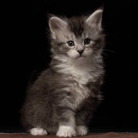 Cute pretty Maine Coon kitten. Silver kitten 1 month. Black background. Cat color black ticked tabby bicolour Stockfoto