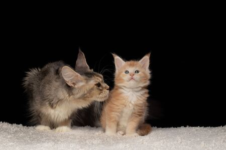 Mama cat sniffs and looks at her Maine Coon kitten of tender lion color. Lion cub Maine Coon on black background and white carpet. Kitten 5 weeks. Color: red silver ticked tabby bicolour