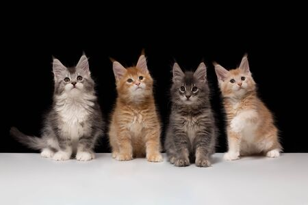 Many beautiful multi-colored Maine Coon kittens on a black background and a white table. There is a copy space. Group of cats brothers 2 months